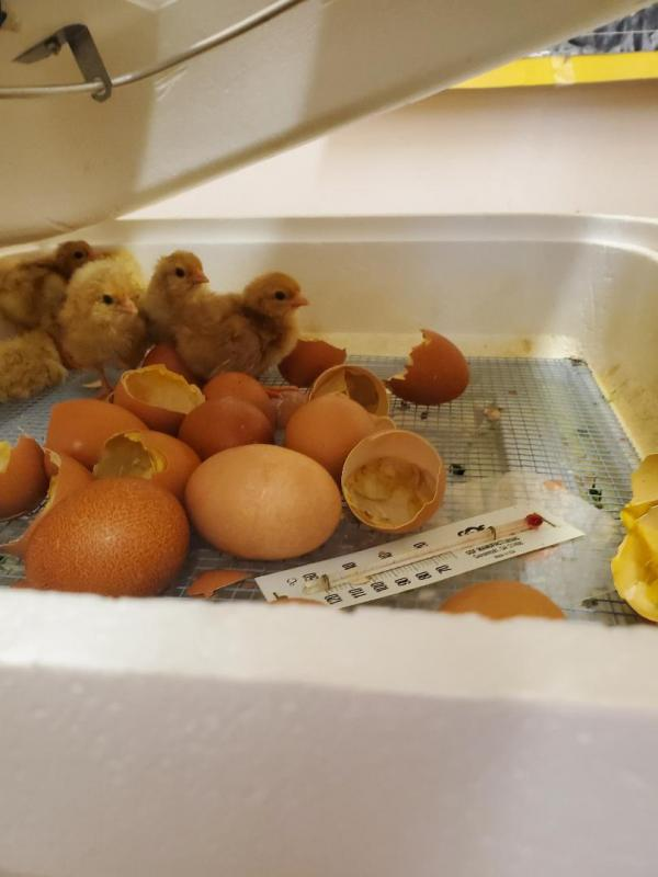The Chicks have hatched!