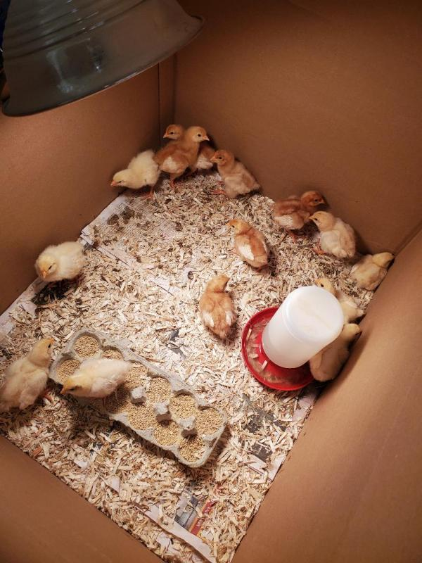 The Chicks, 1 week old.