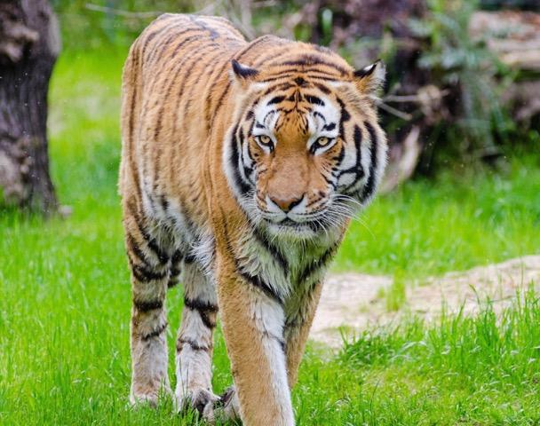 animal-big-cat-blur-145932